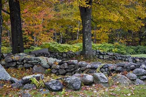 Which came first, the tree or the stone wall?