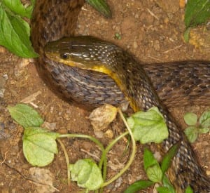 Chinese Water Snake