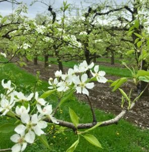 apple blossoms in vermont