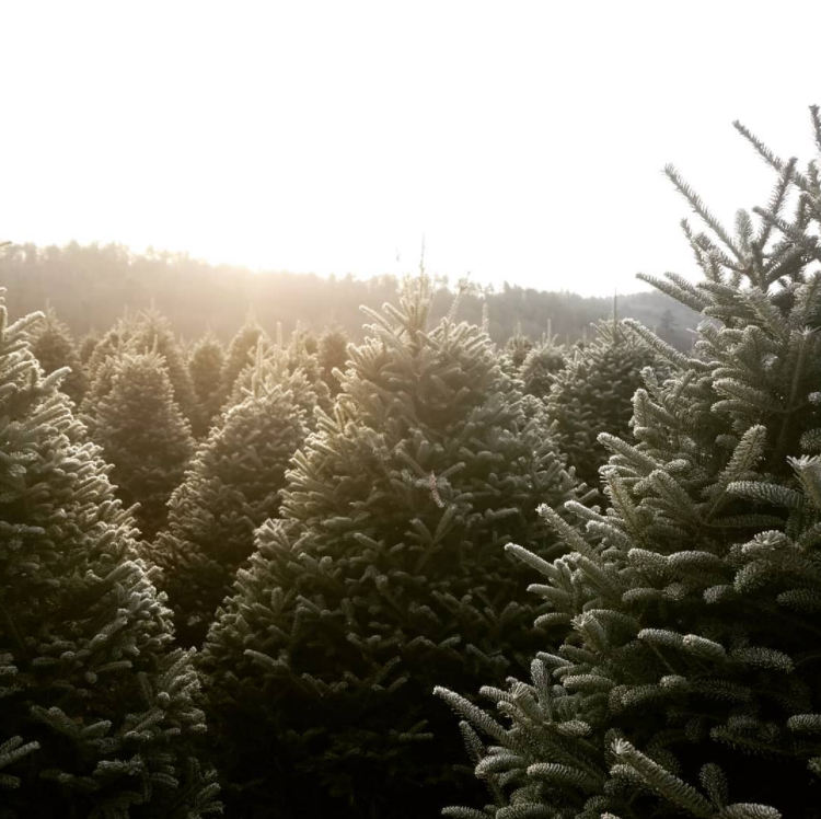 trees at a christmas tree farm, well shaped and ready for cutting