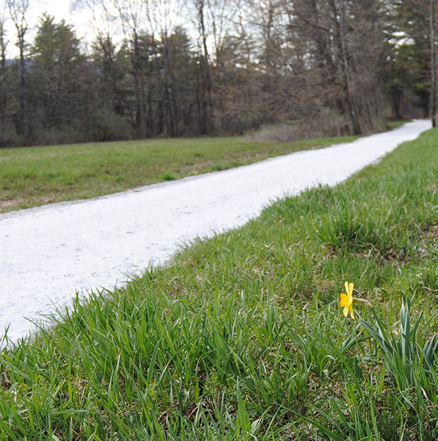 bright yellow daffodil alongside a rail trail in Vermont