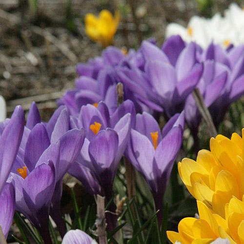 spring flowers: purple and yellow crocuses