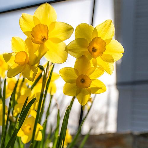 spring flower: yellow daffodils