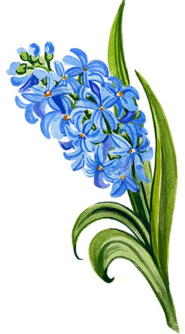 illustration of blue hyacinth
