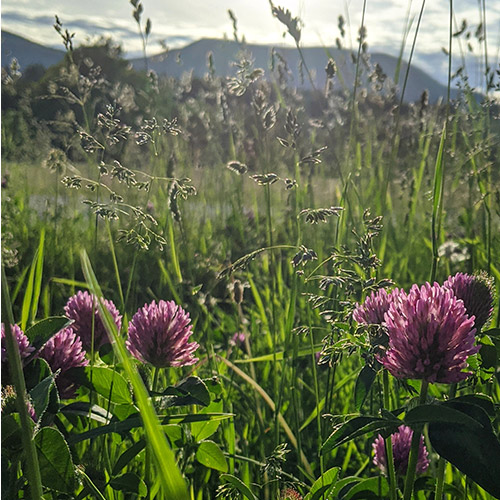 vermont's state flower: red clover