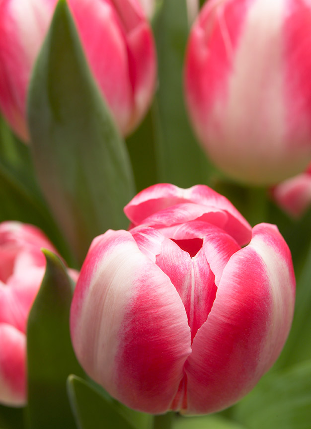 pink with white tulips